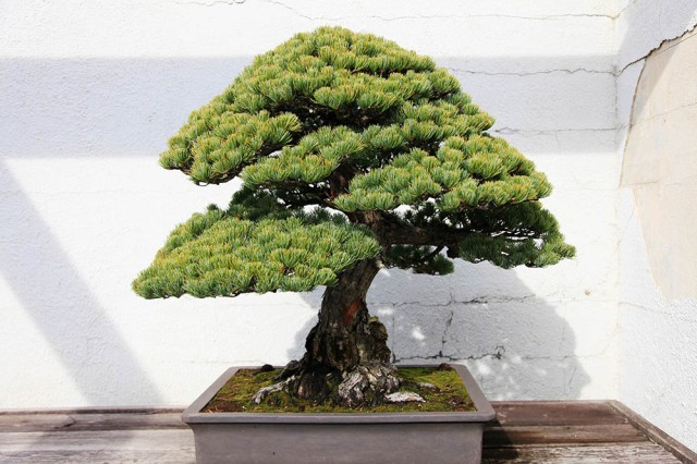 Credit: Dylan Fawcett at the National Bonsai and Penjing Museum D.C.